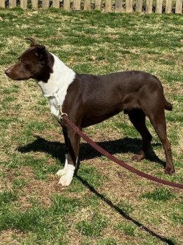 Dog available for adoption in Louisville